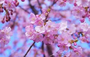 3cherry-blossom_auntmasako_Pixabay